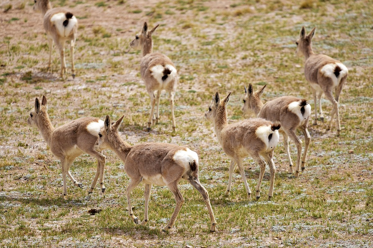 Tibetan Gazelles near Nima | Photo par Liu Bin