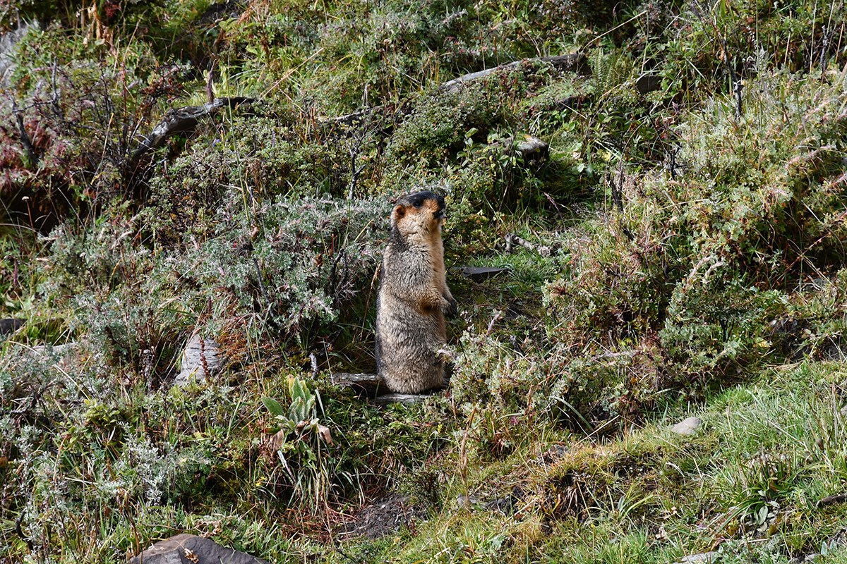 Marmot in Gongga Mountain | Photo par Liu Bin